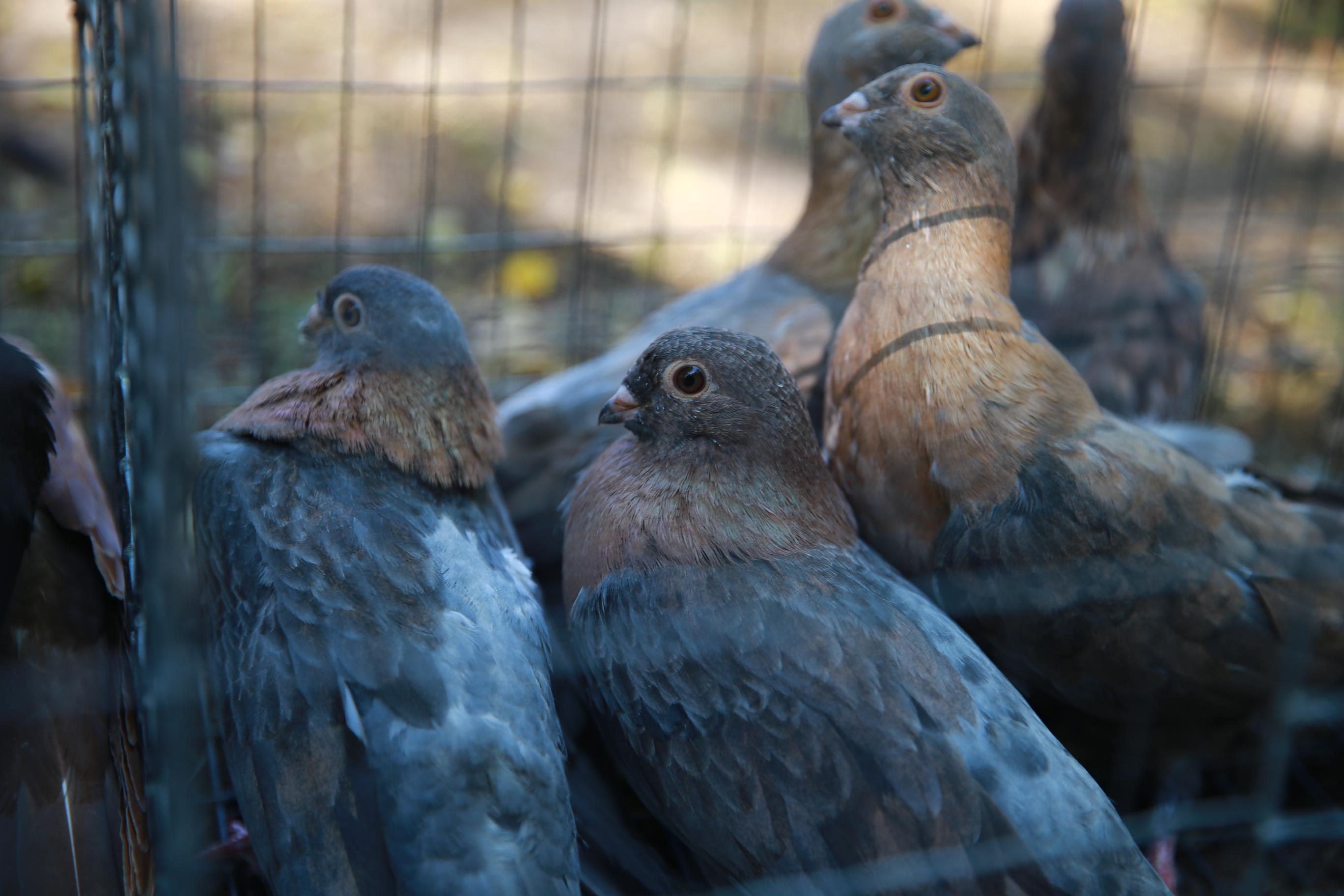 Выставка голубей, г.Кременчуг, 6.07.2019г.